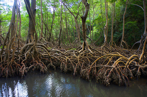 mangrove-republique-dominicaine
